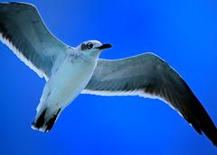 Gull Flying (photographyguy) Tags: bird gulfofmexico nature florida seagull gull bluesky fl destin