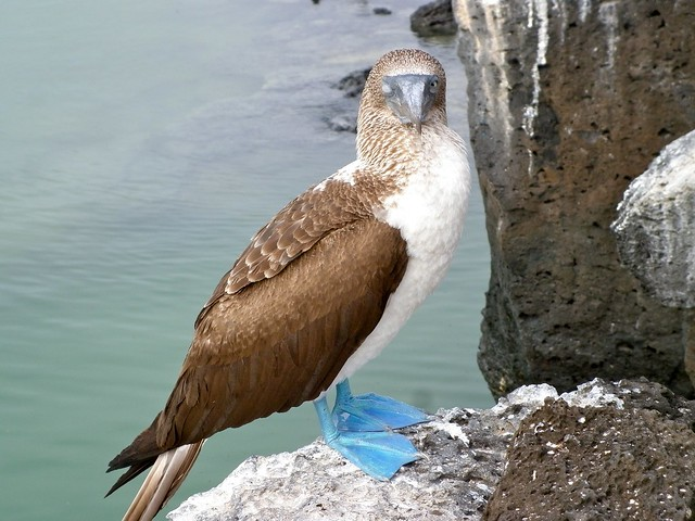 Sleeping One-Eyed Blue-Footed Booby