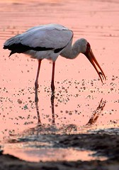 Yellow Billed Stork, Moremi, Botswana