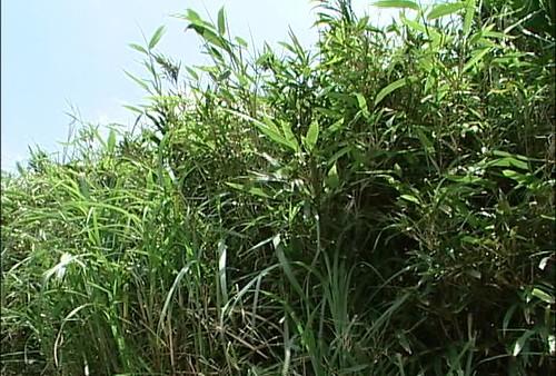 包籜矢竹;圖片來源:公視我們的島