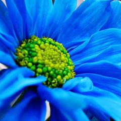 blue daisy - by Flowery *L*u*z*a*