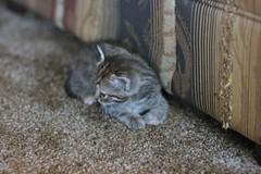 Xuxa the Kitten #9 (poplinre) Tags: ohio usa animals cat kitten earth unitedstatesofamerica handheld xuxa animalia mammalia 2007 felis canonef50mmf14usm carnivora felidae westjefferson feliscatus chordata