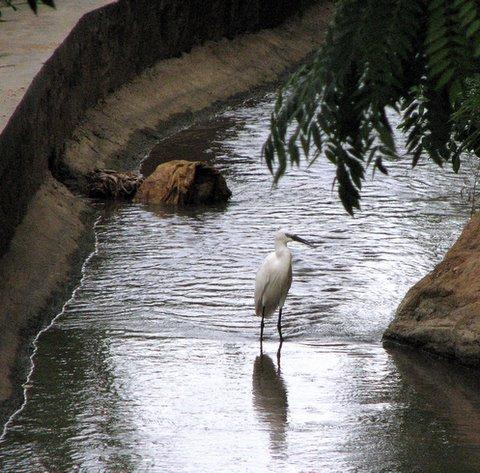 IntermediateEgret in the Canal, ranganathittu