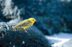 Yellow bird (ExeDave) Tags: fab bird nationalpark ecuador scan galapagos chatham sancristobal endemic yellowwarbler galpagos woodwarbler wildbird sancristbal puntasur galpagosislands islasgalpagos superaplus aplusphoto islasdecolnumio dendroicapetechina dendroicapetechinaaureola sspaureola