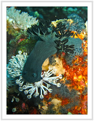 Nudibranch (Ian Dawes) Tags: philippines puertogalera mindoro scubatrip atlantisdiveresort