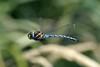 Common Hawker Dragonfly (Aeshna juncea) DSC_0049 (NDomer73) Tags: 03september2006 september 2006 insect dragonfly flight commonhawker ridgefieldnationalwildliferefuge ridgefield ridgefieldnwr