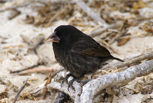 Large Cactus Ground finch