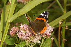 """Red Admiral Butterfly (Vanessa atala(27) • <a style=""""font-size:0.8em;"""" href=""""http://www.flickr.com/photos/57024565@N00/1406558483/"""" target=""""_blank"""">View on Flickr</a>"""
