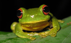 Red-eyed Tree Frog (Litoria chloris) (Heleioporus) Tags: tree green frog queensland mackay redeyed chloris litoria anuran