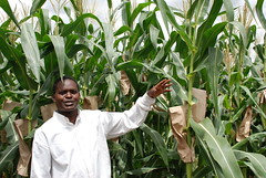 Producing drought tolerant hybrids for Water Efficient Maize for Africa (CIMMYT) Tags: africa plant planta field corn experimental crossing cross kenya african experiment research breeding drought kari campo agriculture hybrid showing partnership maize kenia partner collaboration plot improvement scientist sequa experimento researcher kenyan africano demonstrating asociacin breeder eastafrica agricultura parcela frica droughttolerant mostrando hbrido cruza researchstation maz investigacin colaborador cientfico colaboracin subsaharanafrica collaborator experimentstation asociado demostrando kiboko cimmyt wema investigador mejoramiento keniano cruzamiento fricaoriental fricasubsahariana droughttolerance mejorador improvedvariety variedadmejorada kenyaagriculturalresearchinstitute tolerancaalasequa tolerantealasequa estacinexperimental estacindeinvestigacin waterefficientmaizeforafrica mazeficienteenelusodelaguaparafrica