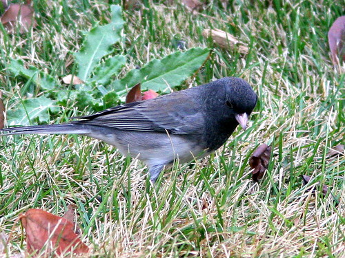 Dark-eyed Junco 4-20101025