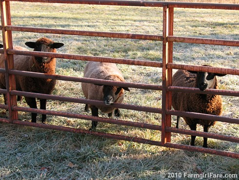 Three (Sun Bleached) Black Sheep in the Frosty Hayfield