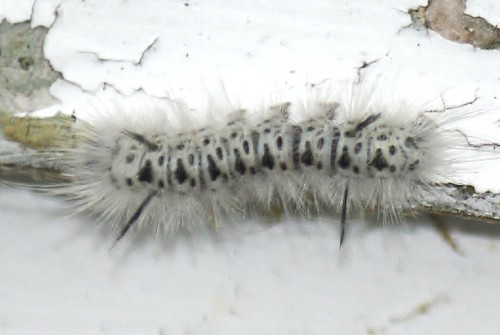 Hickory tussock moth (7)