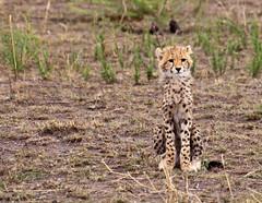 _DSC2654.jpg (mary~lou) Tags: africa baby fletcher one cub nikon mary cheetah undefined d90 gamewinner 15challengeswinner mary~lou pregamewinner easterbabiesanyyounghumanoranimal