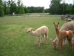 Gore Mountain Farm Alpacas
