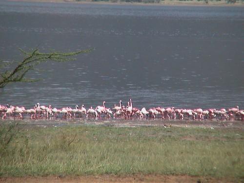 LB Lake Bogoria Flamingos D