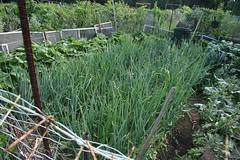 onions at community garden