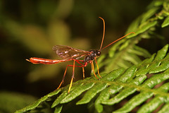 "Ichneumons Wasp(2) • <a style=""font-size:0.8em;"" href=""http://www.flickr.com/photos/57024565@N00/1048591583/"" target=""_blank"">View on Flickr</a>"