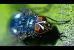 I have some Eyes on you (Chris Dudek) Tags: macro eye animal animals canon insect lens eos fly eyes natur reverse makro insekt fliege 400d isawyoufirst diamondclassphotographer flickrdiamond macrophotosnolimits magicofaworldinmacro
