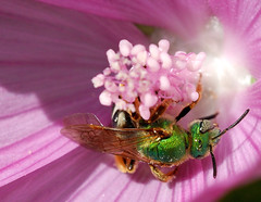 Abeille solitaire (anjoudiscus) Tags: life flower macro green fleur rose insect ange vert bee explore mauve septembre qc abeille insecte vie solitaire 2007 ailes malva hymenoptera monjardin anjou sweatbee halictidae blueribbonwinner loneley 60micro d80 augochlora greenmetallicbee hymnoptre theunforgettablepictures augochlorapura abeillesolitaire halictide