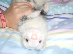 pelos_d_caveza (akire_tremoy) Tags: huron pelos pelitos akire
