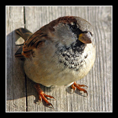 House Sparrow (Marko_K) Tags: bird sparrow housesparrow passerdomesticus naturesfinest 10faves top20birdshots specanimal animalkingdomelite diamondclassphotographer
