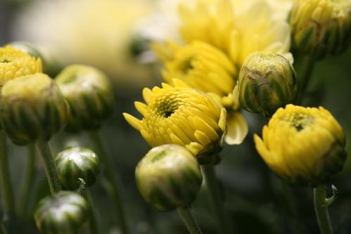 Yellow Chrysanthemum Buds