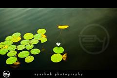 Sublime beauty (ayashok photography) Tags: morning india flower green leaves asian nikon asia floor indian desi lilly 6th bharat kodaikanal hillstation bharath desh barat barath nikonstunninggallery nikond40 ayashok nikor1855mm pcamultiple