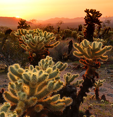 Morning Star Joshua Tree National Park (Ireena Eleonora Worthy) Tags: california ca sunrise nationalpark nikon bravo joshuatree np chollacactusgarden d700 mygearandmepremium mygearandmebronze mygearandmesilver mygearandmegold mygearandmeplatinum mygearandmediamond