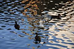 ducks among reflections / patos entre reflejos (pasotraspaso) Tags: street urban reflections photography calle spain nikon europe belgium photos ducks urbano belgica gent reflejos patos gante d80