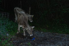 Some escaped cheeky young cows (carterjmelissa) Tags: horses switzerland stealing