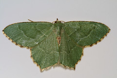"""Common Emerald Moth (Hemithea aestiva(1) • <a style=""""font-size:0.8em;"""" href=""""http://www.flickr.com/photos/57024565@N00/724032615/"""" target=""""_blank"""">View on Flickr</a>"""