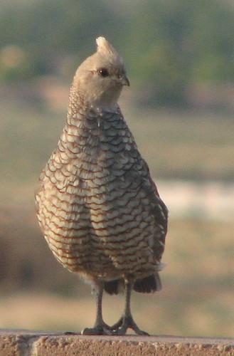 Scaled quail (Callipepla squamata)