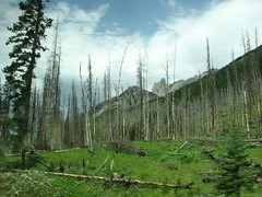 zooming by the regrowth (offonmars) Tags: alberta deadtrees canadianrockies regrowth controlburn