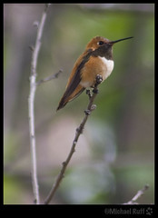 Elusive Orange Hummer (mcruff) Tags: camping arizona orange point hummingbird canyon rim northern mogollon betterthangood