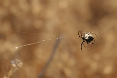 the spin i'm in (freshelectrons) Tags: summer golden spider sunnyvale wildlife web creatures baylands spidersilk