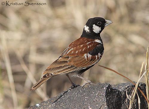 Chestnut-backed Sparrow-Lark (Eremopterix leucotis) by macronyx.