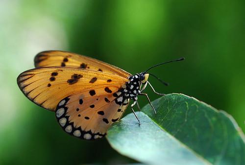 Tawny Coster (Acraea terpsicore)珍蝶屬