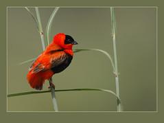 Northern Red Bishop (Euplectes franciscanus) (Rainbirder) Tags: birds tags gambia wonderwall nw10 euplectesfranciscanus supershot kotu specanimal avianexcellence coth5 qualitygold 5nw