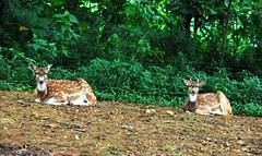 Safari Garden - Gazelle (saefulhasyim) Tags: zoo gazelle safarigarden jalalspagesanimalkingdom