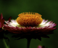 Strawflower (shinichiro*) Tags: flower macro japan nikon order d70 crazyshin 2007 excellence aroundhome naturesfinest blueribbonwinner 60mmmicro supershot aplusphoto ishflickr flowererotica platinumheartaward gettyselect order500
