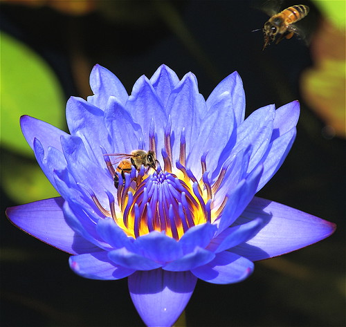 """This is Major Tom to Ground Control"" -- nature macro blue water major tom waterlily majortom bee hover yellow magicdonkey"