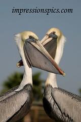 Pelican Beaks Crossed