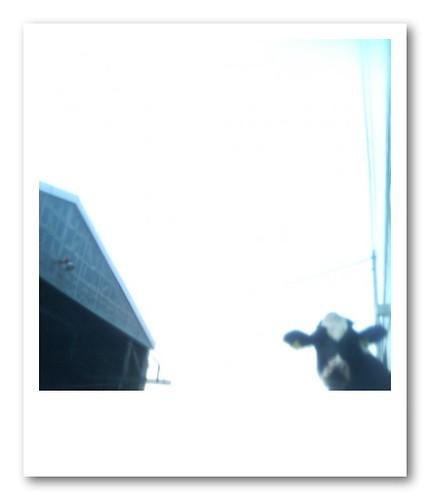 roof and cow