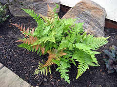 autumn_brilliance_fern_7_2007