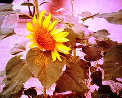 Sunflower تبّاع الشمس
