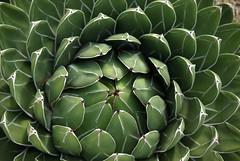 """The center cannot hold . . ."" (Al_HikesAZ) Tags: arizona cactus 15fav phoenix golf quote course scottsdale agave agavaceae westin kierland awesomenature alhikesaz"