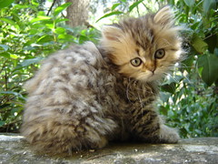 Priceless (catherine.caf) Tags: cute cat persian kitten chat vivid clever chaton naturesfinest persan cc100 kittenmagazine kissablekat superbmasterpiece beyondexcellence