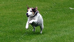 PICT0037 (windhundarena) Tags: dog greyhound dogs sport grey tiere europameisterschaft weltmeisterschaft hund espanol fotos agility schmidt ulrich gelsenkirchen ruhrgebiet uli haustier hunde tier arny haustiere weltmeister windhund coursing recklinghausen ruhrpott tierfoto tierfotos meisterschaft herten galgo galgos jagdhund windhunde wrv galga hundewiese europameister hundesport hunderennen hundefotos windhundarena rennhund kikami galgas hunderennbahn jederhundrennen blacktoxic