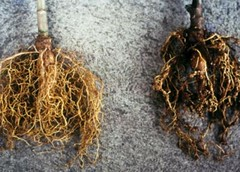 Resistance and susceptible roots of cassava plants (IITA Image Library) Tags: roots resistance cassava susceptibility manihotesculenta